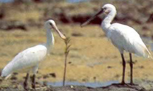 Spoonbills at the Nabq Protected Area