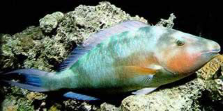 A brightly colored Parrotfish shows off his (or her) colors for the camera