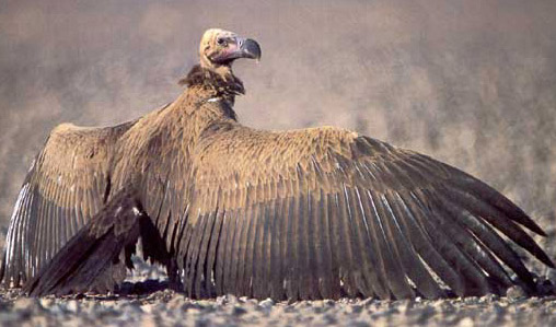 Largest Vulture in Africa