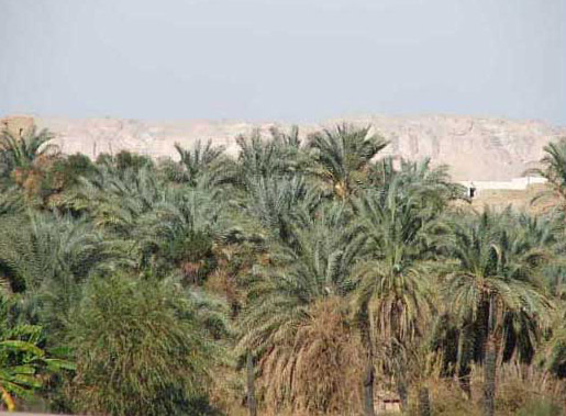 Palm trees at Dakhla Oasis