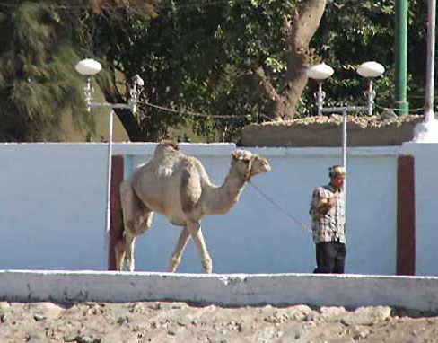 Camel at Abydos