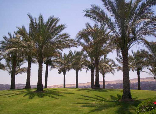 Palm Trees in Alazhar Park
