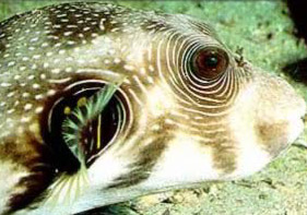 The normally flat Puffer can inflate itself into a spiny ball when in danger
