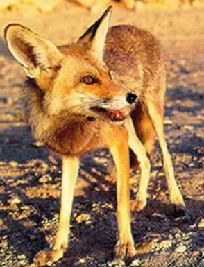 A fox in the Ras Mohamed   Protected Area