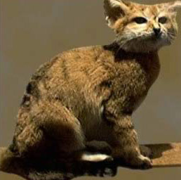 Elusive and beautiful, the Sand Cat is a rare find