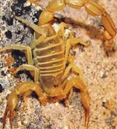 The scorpion, another reason to watch where you step