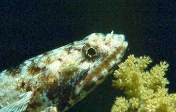 Common Lizardfish