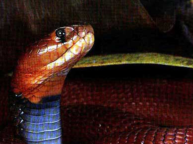 The Red Sptting Cobra
