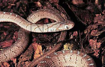 African Egg Eating Snake