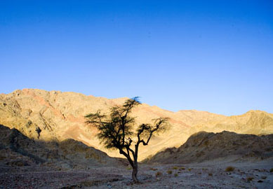 An Arcacia Tree and other small vegetation in the Southern Sinai Interior