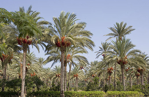 Date palm groves in the gardesn at Muntazah