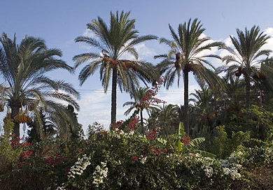 Date Palm trees and flowers along the road to Rasheed
