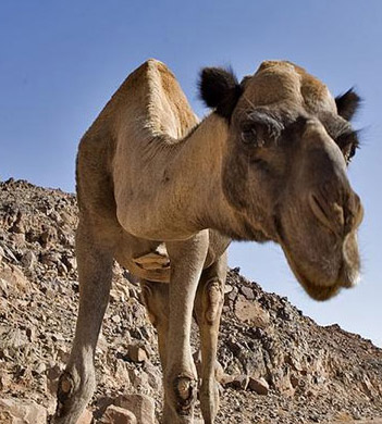 Keep a close eye on things: A Wild camel in the Egyptian Sinai