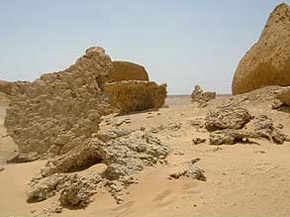 Remains of petrified Mangrove bushes in the Wadi